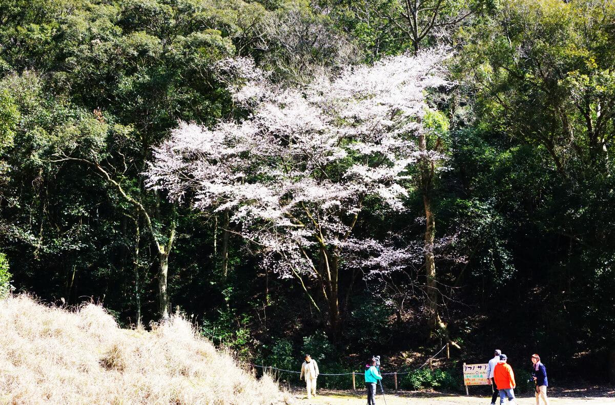 池野山のタイプ標本木