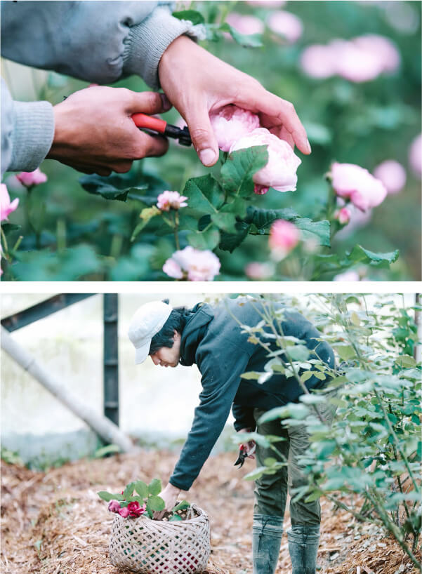 スマホ用バラの画像