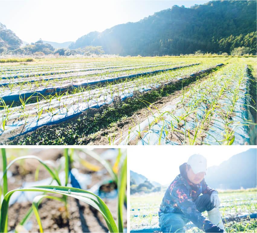 池田農園のニンニク収穫作業の画像