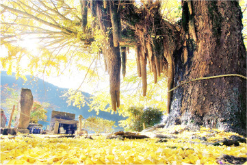 スマートフォンの光泉寺の大銀杏の画像