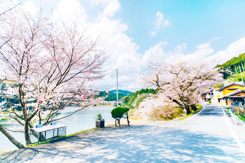 七川ダム湖畔の桜の画像