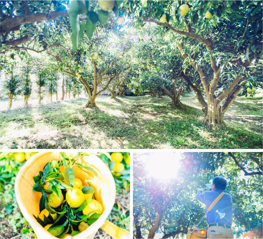 新屋農園ゆずの収穫風景の画像