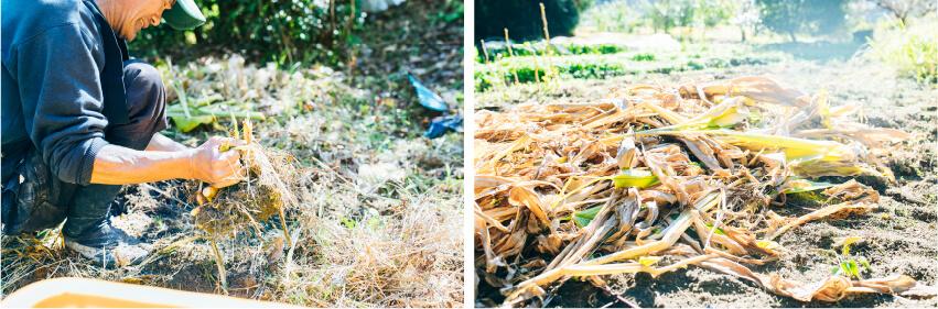 上田農園のウコン収穫作業の画像